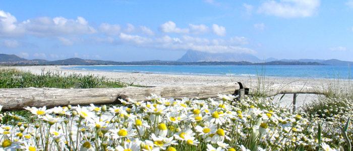 spiaggia di san teodoro con i fiori e tavolara sullo sfondo